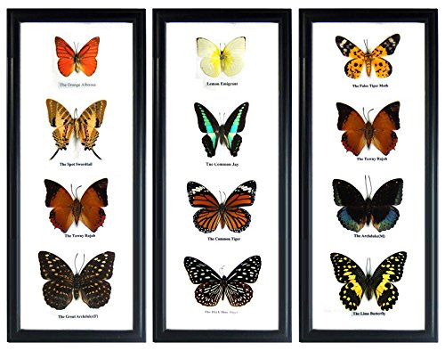 Thai Products Taxidermy Butterfly Frame