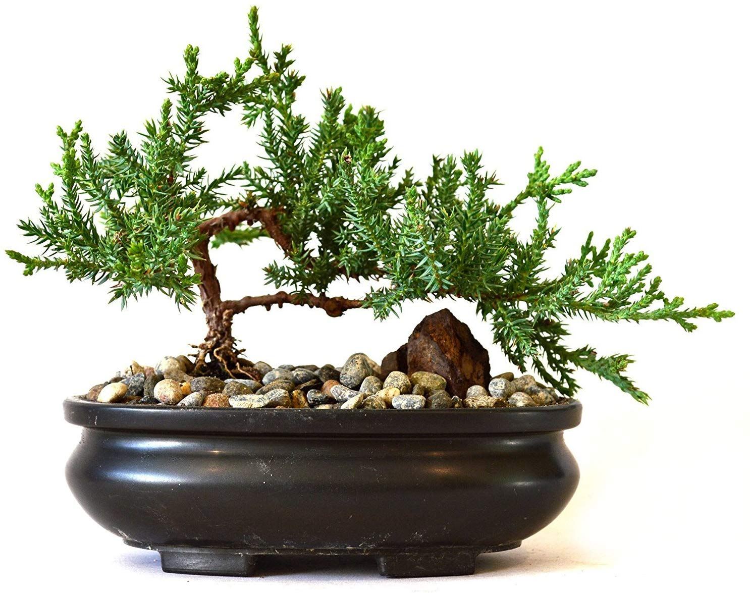 Tree Bonsai with pot